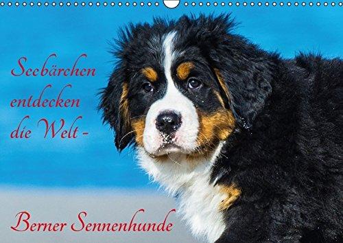 9783664811922: Seebärchen entdecken die Welt - Berner Sennenhunde (Wandkalender 2017 DIN A3 quer): Berner Sennenhunde-Welpen entdecken ihre Welt an der Ostseküste. (Monatskalender, 14 Seiten )