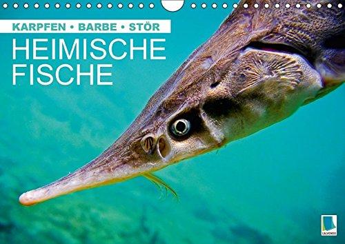 9783664820931: Heimische Fische: Karpfen, Barbe, Stör (Wandkalender 2017 DIN A4 quer): Fische in unseren heimischen Gewässern (Monatskalender, 14 Seiten )