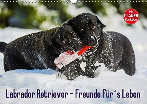9783665379742 - Sigrid Starick: Labrador Retriever - Freunde für?s Leben (Wandkalender 2017 DIN A3 quer): Labrador Retriever - die seit Jahren wohl beliebteste Hunderasse, auf 13 zauberhaften Fotos (Geburtstagskalender, 14 Seiten ) - Book