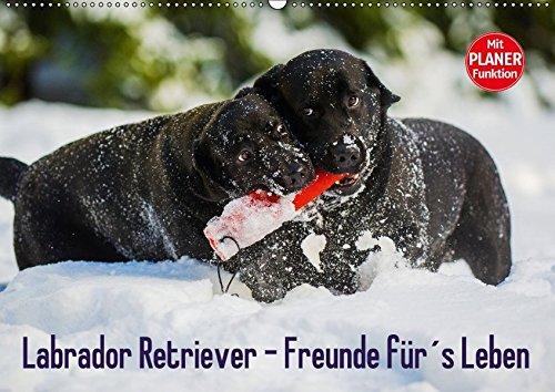 9783665379759 - Sigrid Starick: Labrador Retriever - Freunde für?s Leben (Wandkalender 2017 DIN A2 quer): Labrador Retriever - die seit Jahren wohl beliebteste Hunderasse, auf 13 zauberhaften Fotos (Geburtstagskalender, 14 Seiten ) - Book