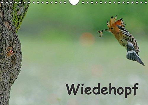 9783665403799: Wiedehopf (Wandkalender 2017 DIN A4 quer): Faszinierende Aufnahmen aus dem Alltag eines Wiedehopfpaares (Monatskalender, 14 Seiten)