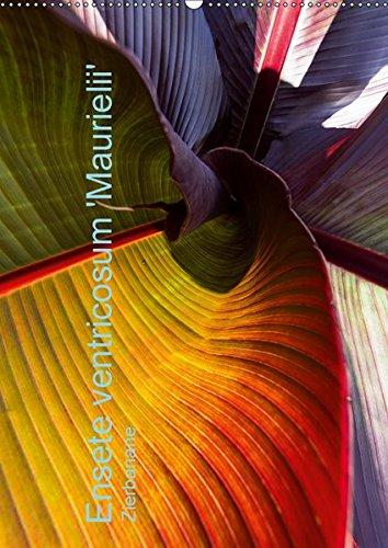 Ensete ventricosum 'Maurielii' - Zierbanane (Wandkalender 2019: Erwin Renken