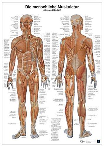 9783808568590: Anatomie-Lerntafel. Die menschliche Muskulatur