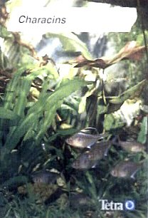 9783923880409: Characins (Aquarium Digest International, Vol. 54)