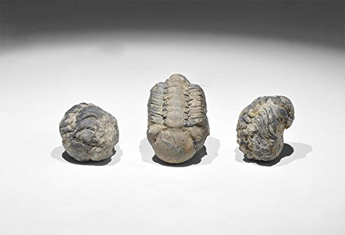 9788040605515: Calymene Fossil Trilobite Group | Palaeozoic Period, 540 million years BP