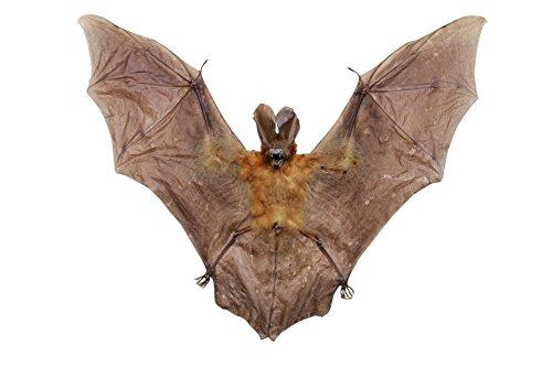 9788040607717: El Javan Bate de slit-faced (nycteris javanica) Taxidermia Spread Wingspan 25cm | de estudio Científico, Biology, educativo