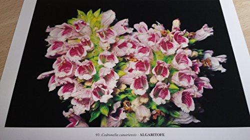 9788460466642: Flora Canaria, Canarian Flora, Kanarische Flora