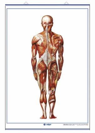 9788496961395: Sistema Muscular (visi—n anterior) / Sistema Muscular (visi—n posterior): Láminas de Anatomía de Secundaria